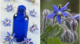Six borage oil benefits you need to know