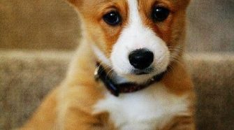 Will Pembroke Welsh Corgi Puppies Make Good Pets for Your Young Kids